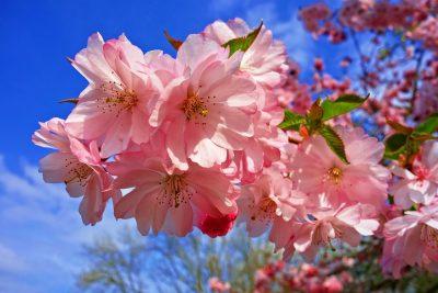 春天绽放的粉色观赏樱花花朵