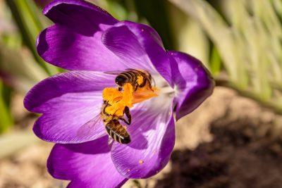 蜜蜂在藏红花花蕊采花