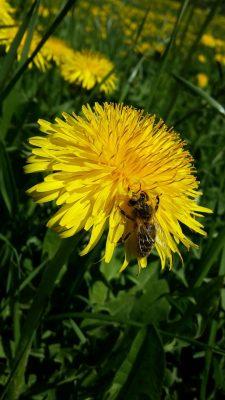 春天、蒲公英、鲜花
