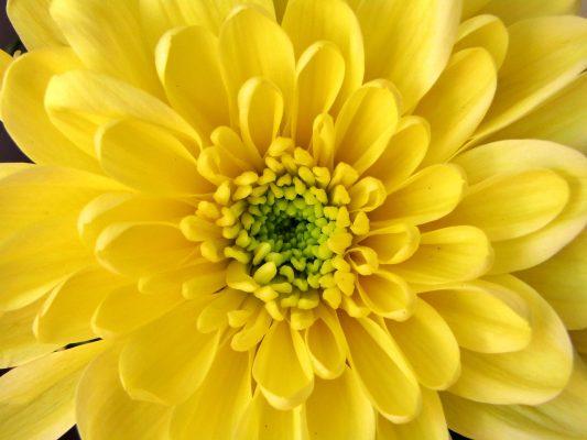 黄色的菊科花朵花蕊