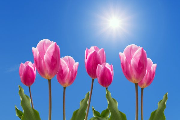 性质、鲜花、郁金香
