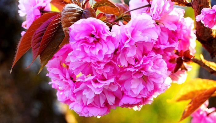 鲜艳的观赏樱花