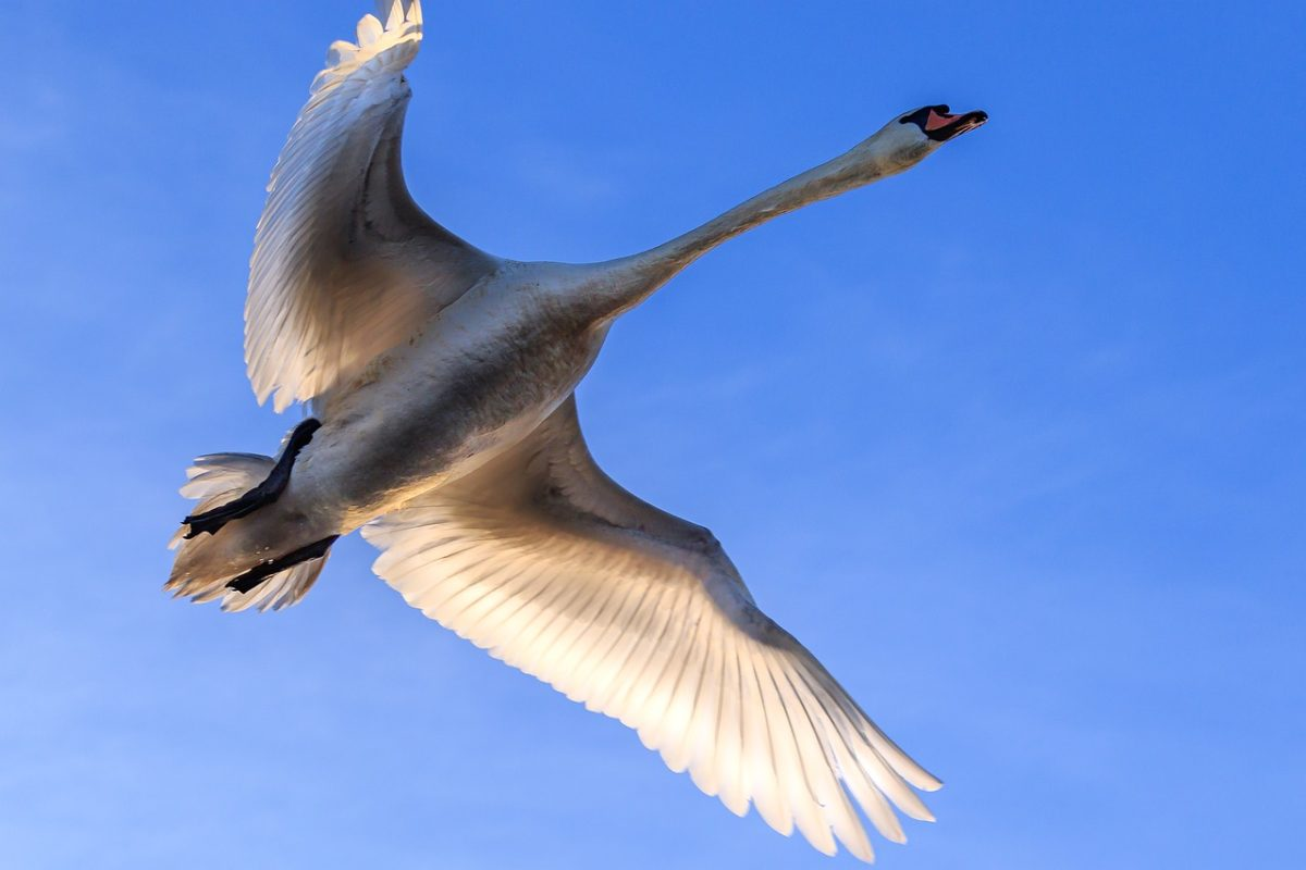 天空展翅飞翔的疣鼻天鹅
