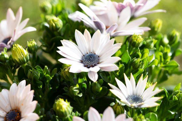 白色的蓝目菊
