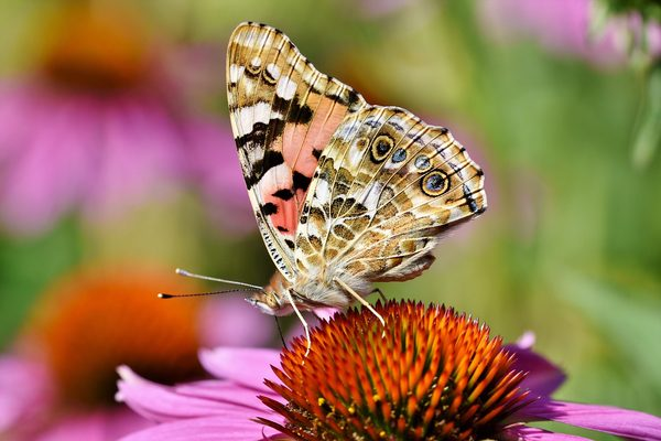 蝴蝶、孔雀、翼