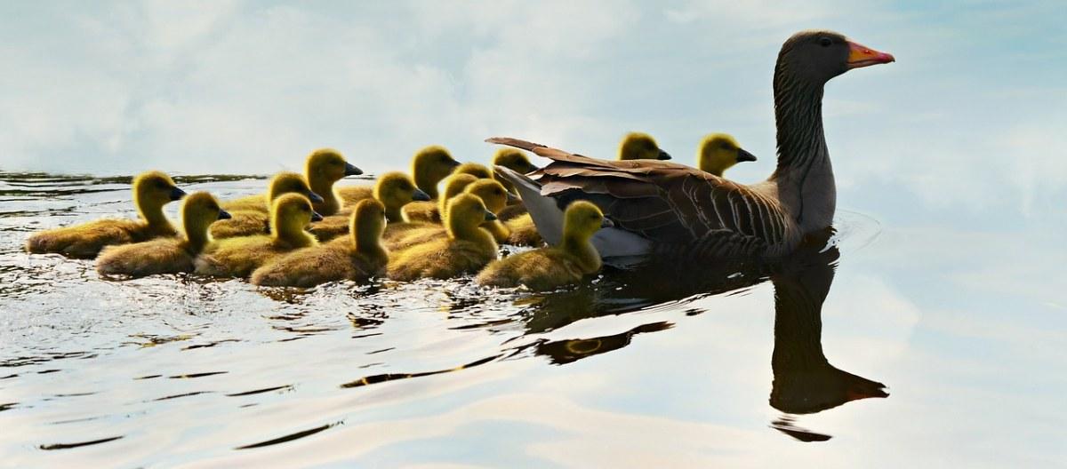 灰雁妈妈带着小灰雁游泳