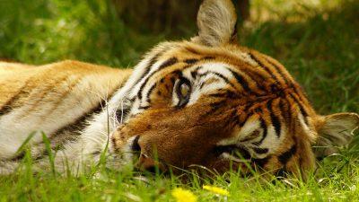 躺在草地上的老虎