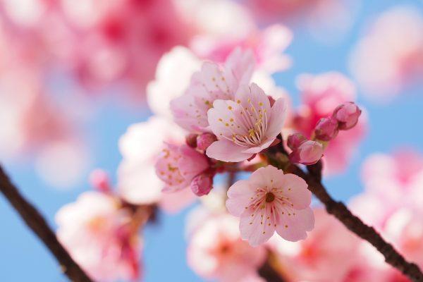 粉色的美人梅
